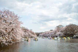 inokashira-park sakura