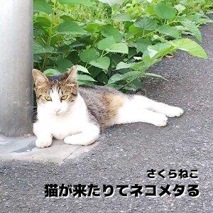 猫が来たりてネコメタる