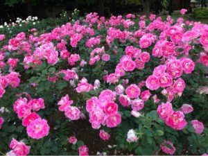 Yoyogi Flowers