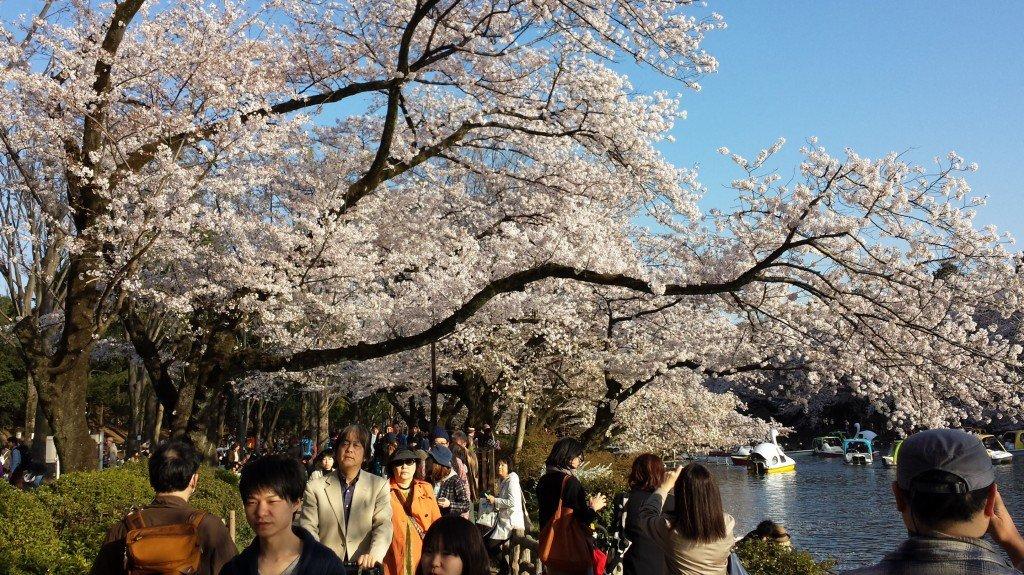 Hanami in Inokashira Park