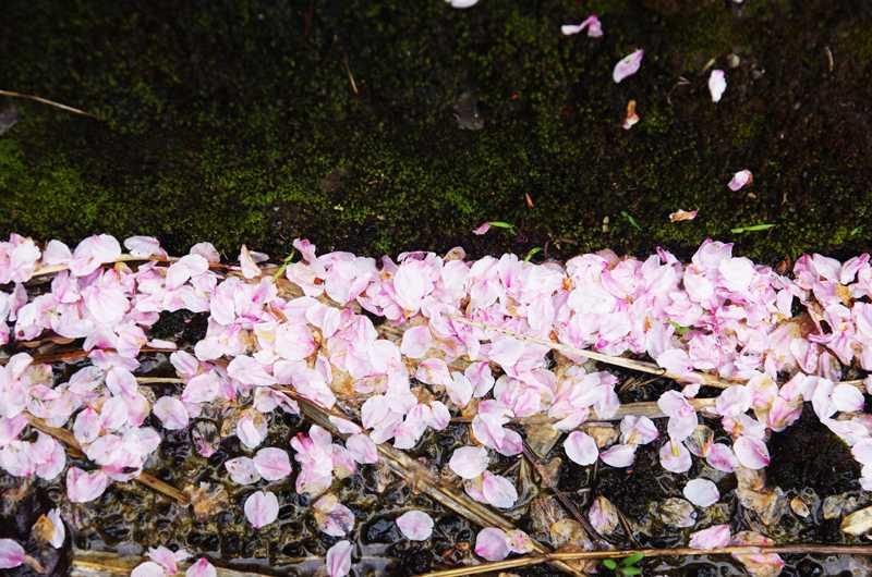 桜のバイカラー800
