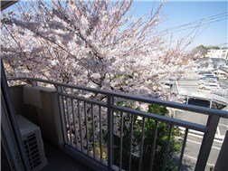 Cherry bloosoms in front of room 211